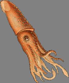 Squid_transparent