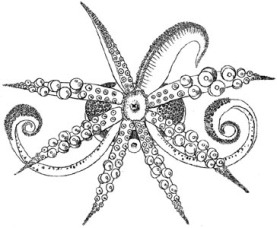 Semirossia_tenera2.jpg